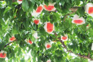やまなし農業女子・桃の販売ご案内